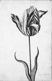 Тюльпан сорта Semper Augustus